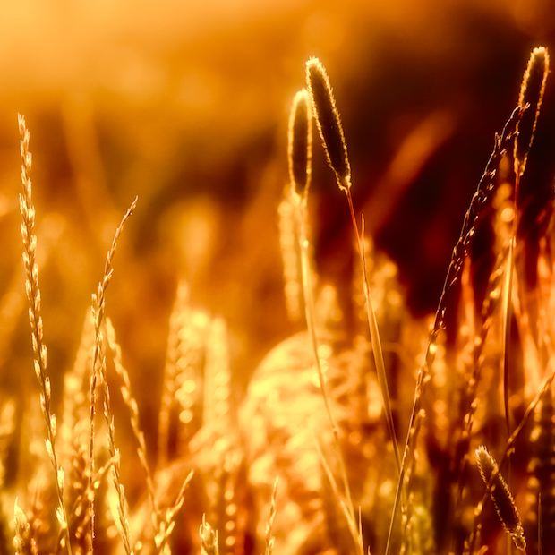 Glowing wheat wallpaper